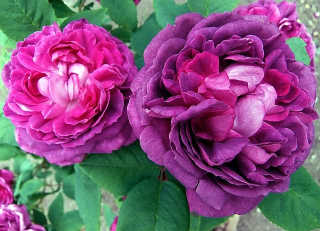 ~Antique Rose: Reine des Violettes (Queen of the Violets) Fully double 4 inch blooms (60+ petals) One of the most sought after Hybrid Perpetual rose. A large upright repeat bloomer, virtually thornless, with a heady fragrance. by FernShade, via Flickr