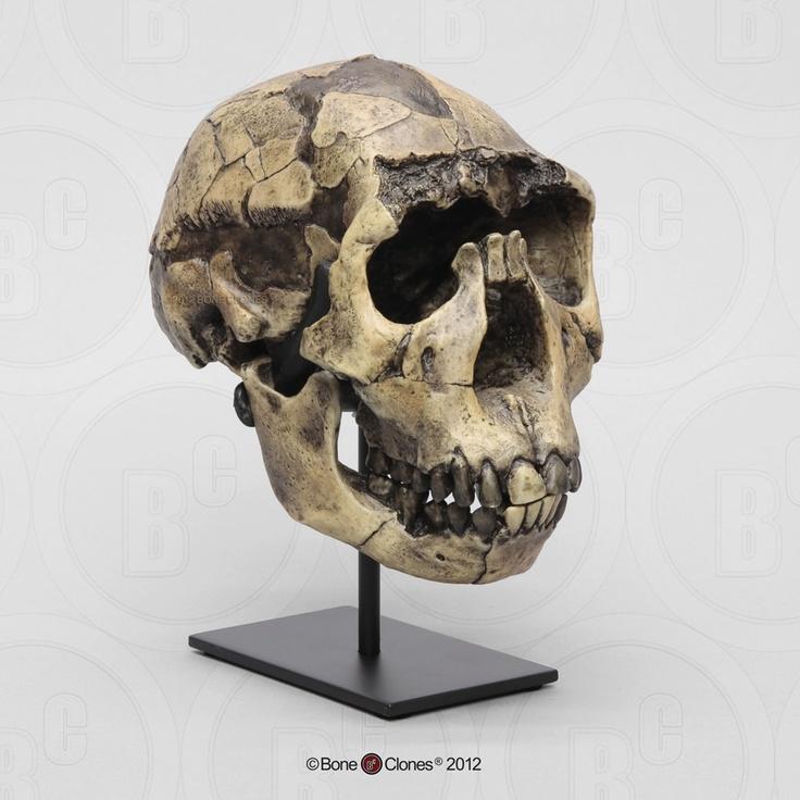 136 best images about Homo erectus & ergaster on Pinterest