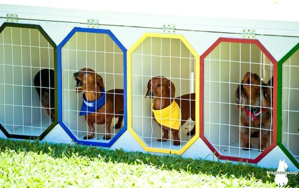 Hawaii Wiener Derby - Release the hounds!