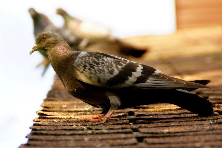 ptaszarnia: gołąbki na dachu