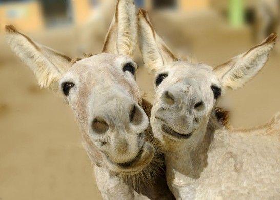 L'âne : de l'émotion jusqu'au bout des oreilles