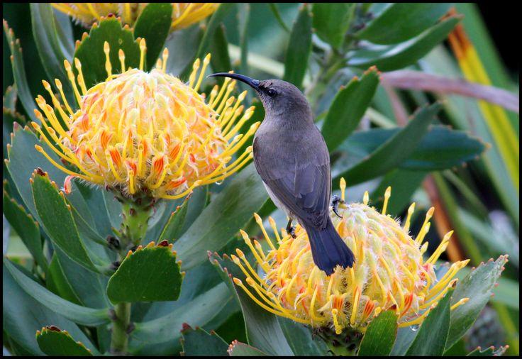 Female sugerbird on Pincuschion (Protea family)