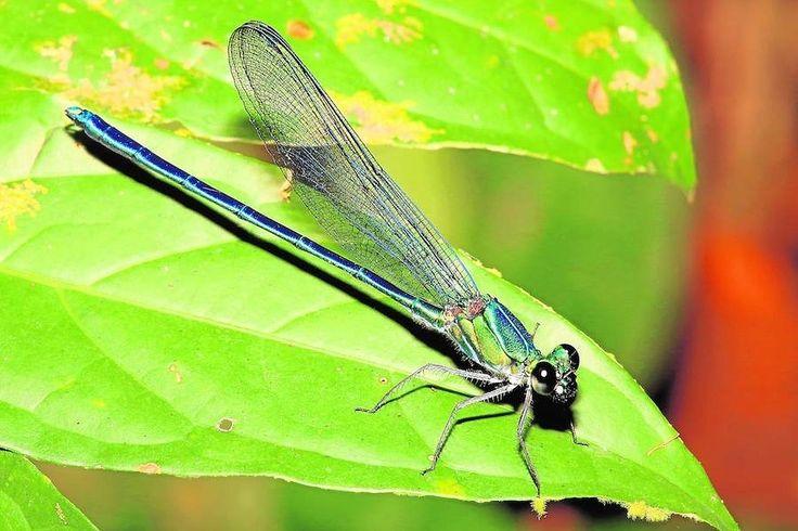 Umma gumma. Esta delicada libélula tiene un nombre que, combinado con el de su género, coincide con del disco Ummagumma que Pink Floyd grabó en 1969 y que, en el argot de la ciudad de Cambridge, significa también hacer el amor