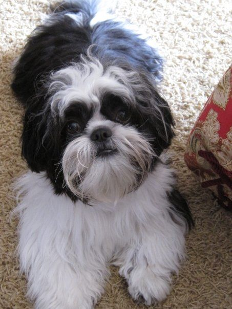 how big does a shih tzu get 24 best images about pets on pinterest toyota baby shih 5546