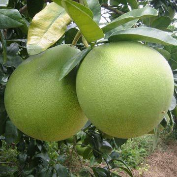 Tambun white pomelo