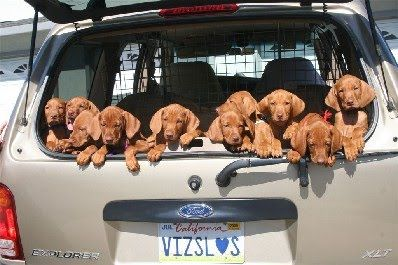 A carload of Vizsla puppies! Even the registration plate spells VIZSLA! #dogs