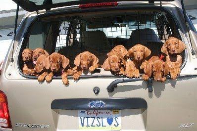 A carload of Vizsla puppies! Even the registration plate spells VIZSLA! #dogs
