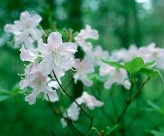 Rhododendron schlippenbachii 'Estelle', rhododendron. Höjd: 1,2 m. Zon III.