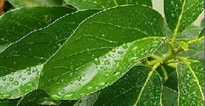 O abacate é um alimento completo.Tudo dele se aproveita: fruta, caroço, folhas....Às pessoas com diabetes é aconselhável um tratamento à base do abacate durante 15 dias: coma em jejum metade de um abacate amassado.
