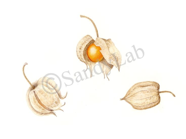 Original Watercolour by Sandy Labuschagne - Gooseberries - for Mom, who grows them in her garden