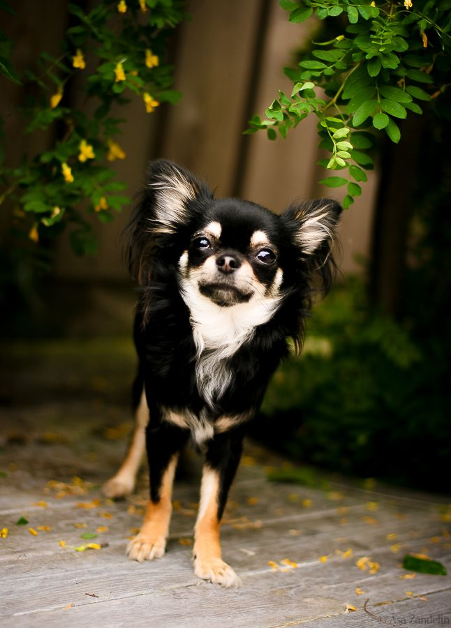 Black & Tan Chihuahua Photo by Åsa Zandelin