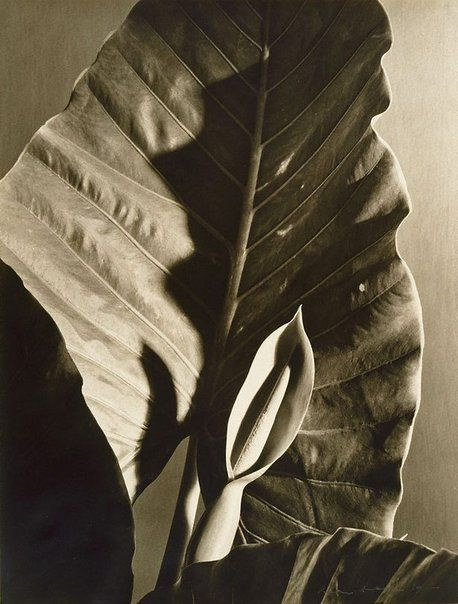 An image of Untitled (plant leaves) by Max Dupain