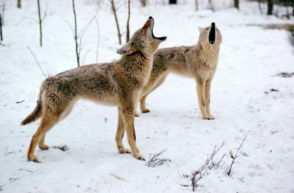 Coyote Tactics: How to Hunt the Coyote Rut | Outdoor Life