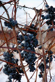 Overwintering Grapes: How To Prepare Grape Vines For Winter-----Grape vine winter care involves the addition of some type of protective covering and proper pruning, especially in colder regions. There are also hardy grape varieties that require little to no upkeep. Learning how to winterize grape vines and how to care for grapes in winter isn't difficult. However, learning about overwintering grapes can be crucial to the health of your vines.