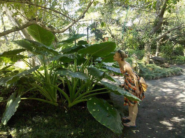Big Dinosaur plant