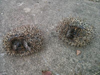 Hedgehog Watch Dublin: slug pellets a no no