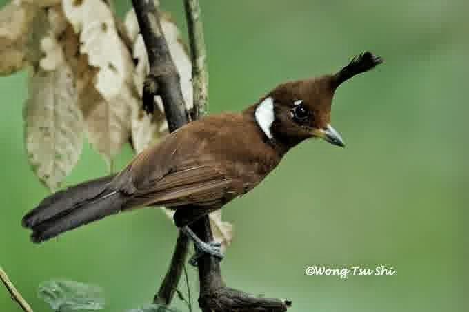 Cara Membedakan Burung Cililin Jantan dan Betina | Burung Nusantara