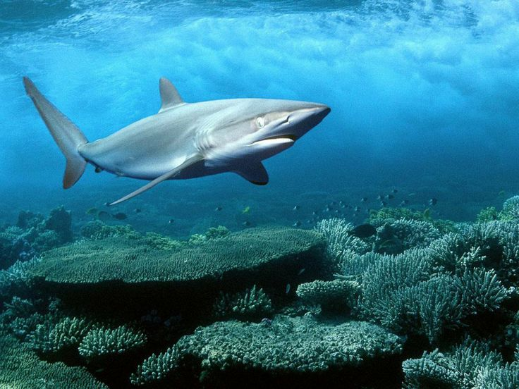 sharks pictures | life of sea silky shark the silky shark also known as carcharhinus ...