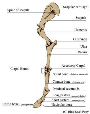 Forever Horses Anatomy Of The Equine Forleg Equestrian Problems