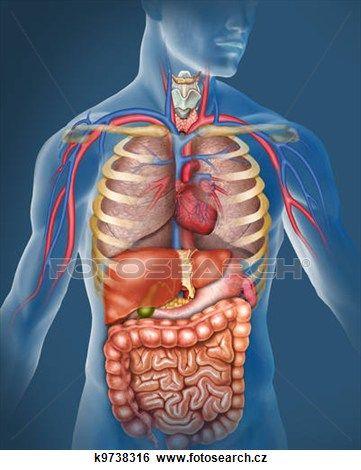 lidské tělo Zobrazit větší obrázek