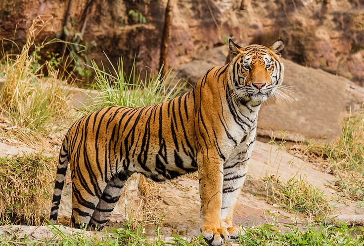 """TIGER (1 OF THE 5 """"BIG CATS""""):  """"TheTiger(Panthera tigris) is the largestcat species, classified in the genusPanthera (BIG CATS)with theLion,Leopard,Jaguar, &Snow Leopard. Tigers areapex predators, primarily preying onungulates such asdeer&bovids. They are territorial & generallysolitary but socialanimals. Wikipedia.""""  [Image: """"ABengal tiger(P. tigris tigris) - Tiger - Wikipedia.""""]"""