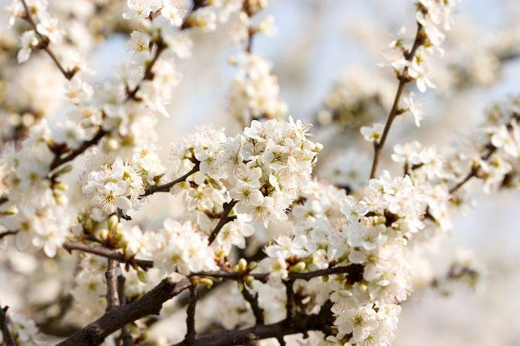 Třešňové květy, krásná příroda, bílý, jarní květiny vektor