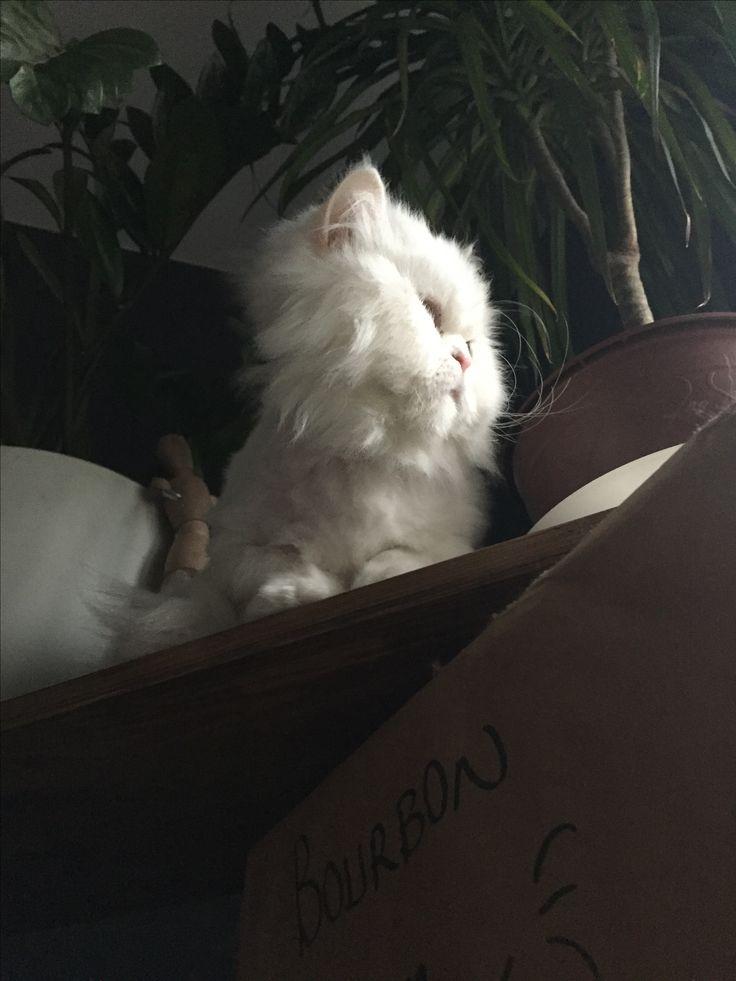 Bourbon the chinchilla cat 🐾❤