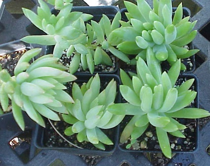 "SEDEVERIA Hybrid HARRY BUTTERFIELD ""Mule Tail"" Easily grown (in full light and adequate moisture with perfect drainage) large ""Burro Tail"" with tightly packed pearl-toned leaves completely covering the cascading succulent stems. Considered a hybrid between sedum morganianum and echeveria. Water thoroughly when the soil is dry.  (goblet)"