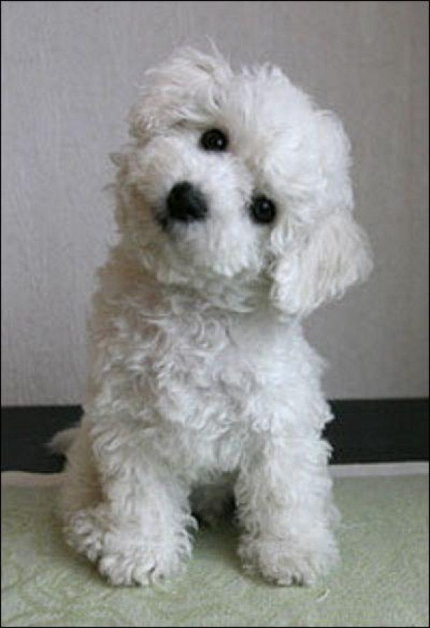 bichon frise head tilts