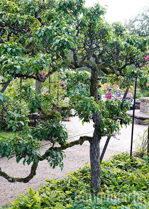 Omenapuut voi kasvattaa myös kasvimaan upeaksi aidaksi!