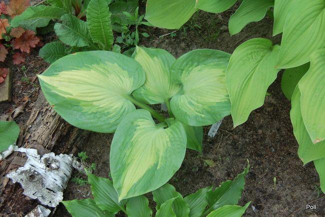 Zielono Zakręceni: Funkia (Hosta) Big Kahuna (1/1)