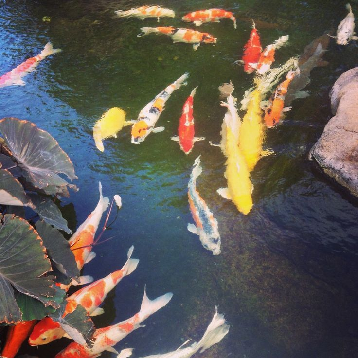 106 best images about koi ponds on pinterest the pond for Japanese koi pool
