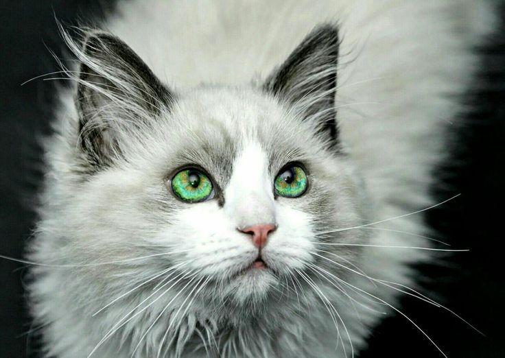 Mejores 14 imágenes de Ojos de gato en Pinterest | Ojos de gato ...