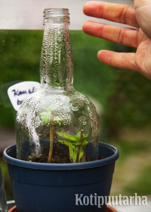 Puolikas pullo on kuin kasvihuone vaateliaalle taimen alulle. www.kotipuutarha.fi