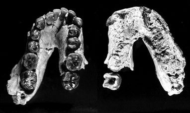 Homo habilis - OH 7
