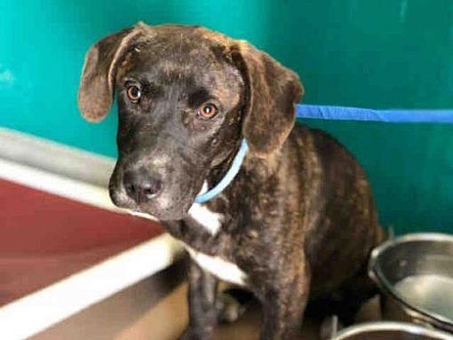 Texas City Tx Plott Hound Meet A012487 A Dog For Adoption Kitten Adoption