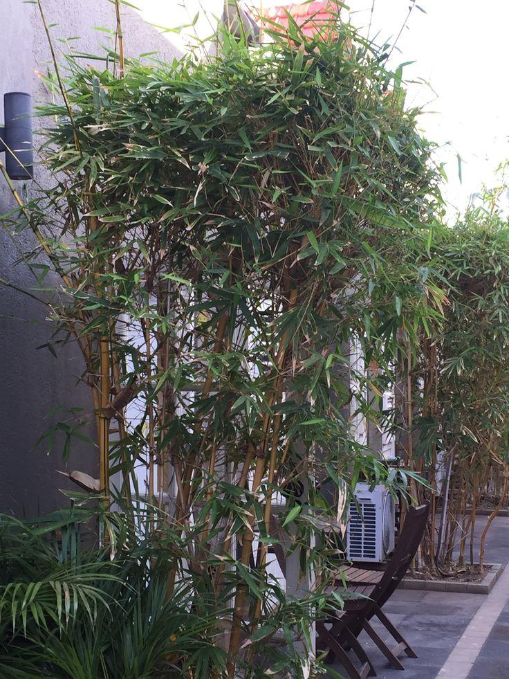 Bamboe planten   Jasmijn   Pinterest