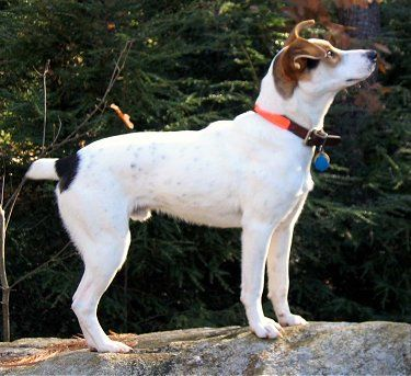 Gray's Trigger (tri-color male) Treeing (aka Mountain) Feist dog