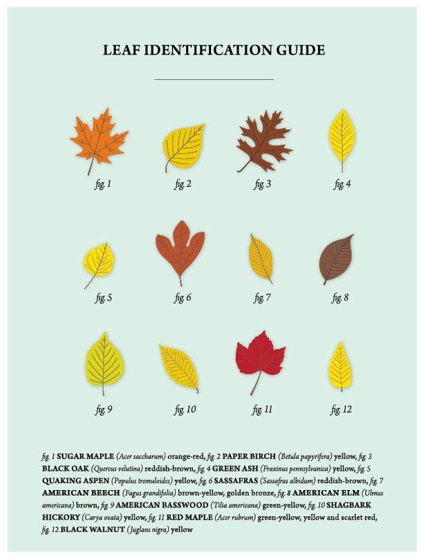 Leaf Identification Guide