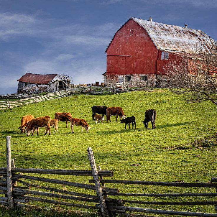 Red Barn And Cows by Gerry Legere