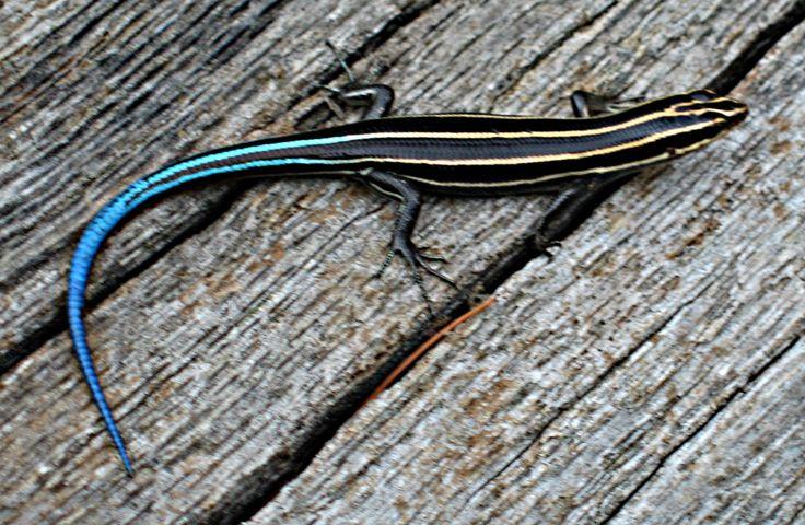 Plestiodon fasciatus - Wikipedia, the free encyclopedia