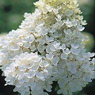 Hydrangea paniculata 'Grandiflora'                                         document.write('');  document.write('');