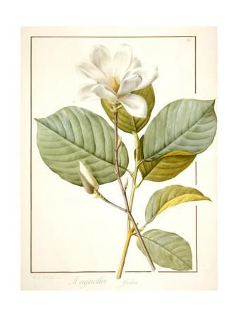 Magnolia Yulan, Magnolia Denudata, 1812 (W/C and Bodycolour over Traces of Graphite on Vellum) Giclee Print by Pierre Joseph Redoute at Art.com