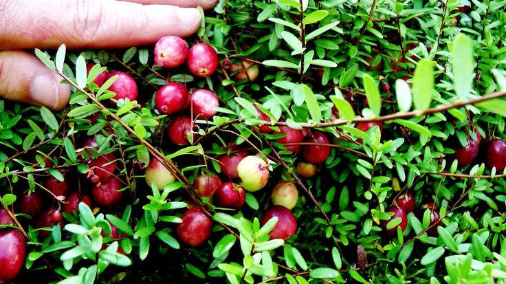 Выращиваем клюкву крупноплодную на участке