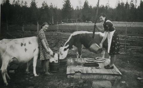 Finnish cows 1944