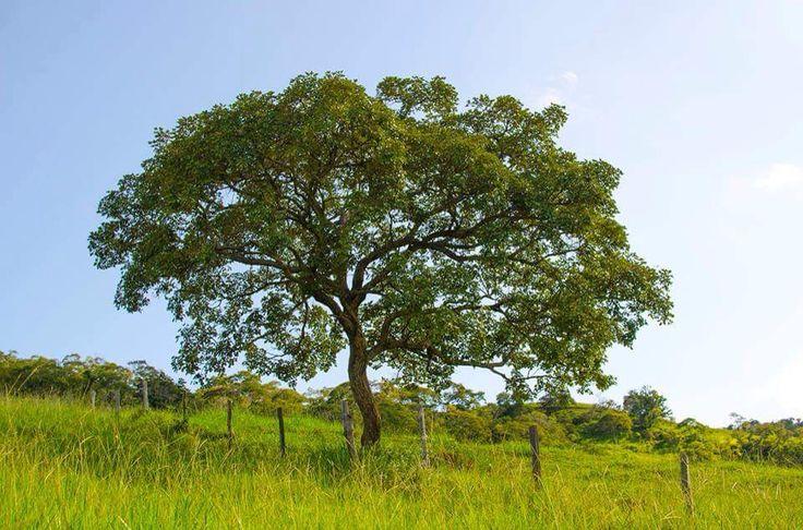 Minas,a árvore solitária!