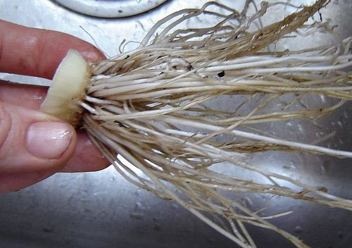Re-Plant Onions