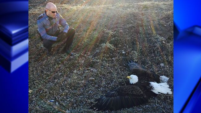An injured female bald eagle was on the ground near a roadway when officers found her.