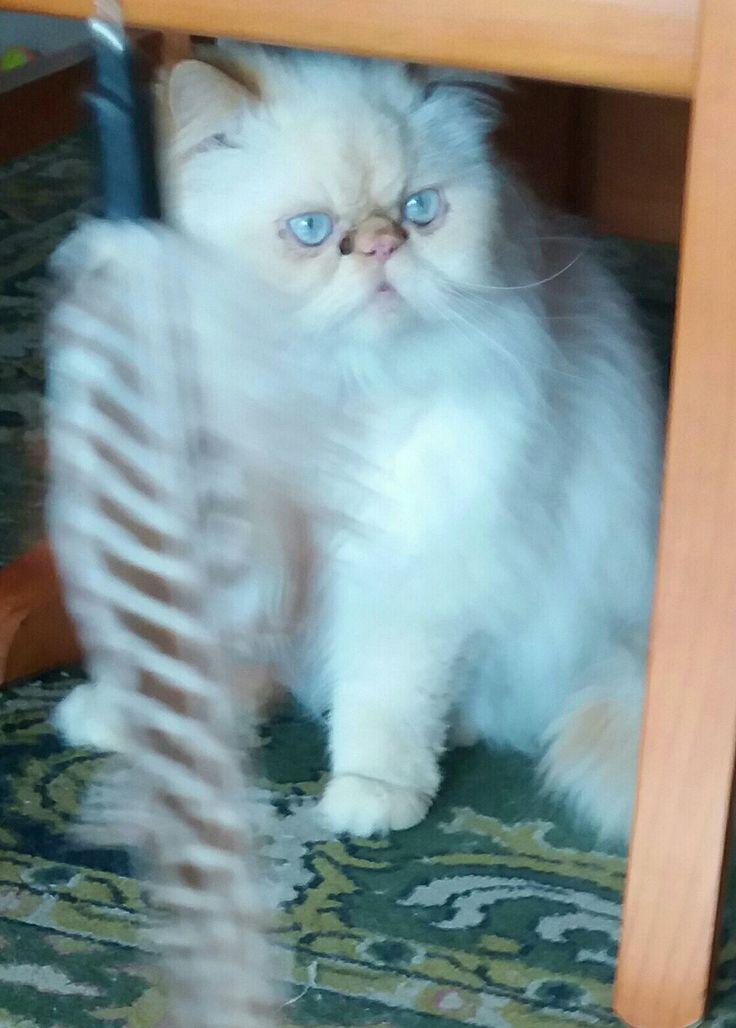 Mi gato persa himalayo jugando