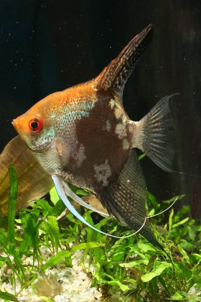 341 best fish freshwater angelfish images on pinterest for Freshwater exotic fish